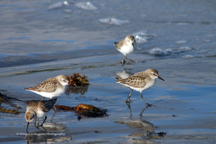 September 24, 2013 sandpipers at Brace Cove