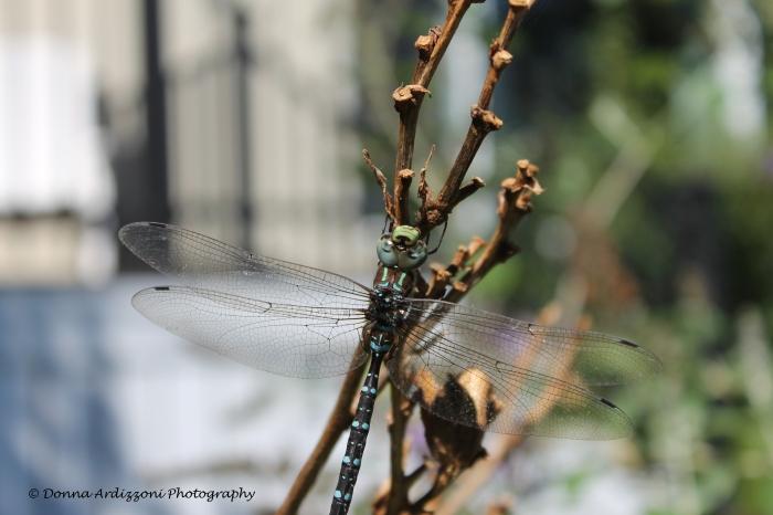 September 8, 2013 pretty dragon fly