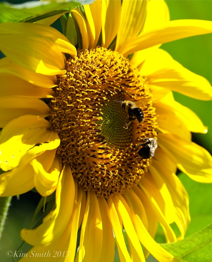 Sunflower and Bees ©Kim Smith 2013