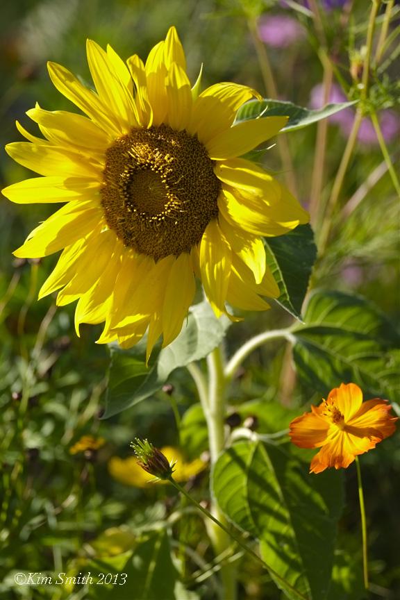 Sunflower Donovan Field ©Kim Smith 2013 copy
