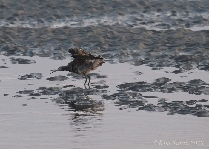 Whimbrel Massachusetts ©Kim Smith 2013.