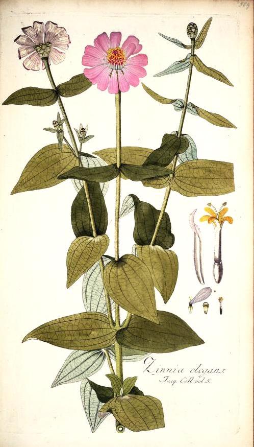 Zinnia elegans