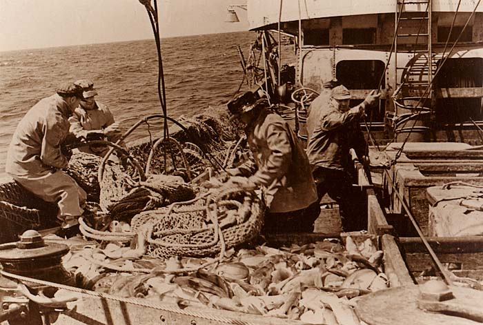 Once the cod are aboard the fishing vessel and out of the net, it's time to sort them. All photos by James H. Goodwin.