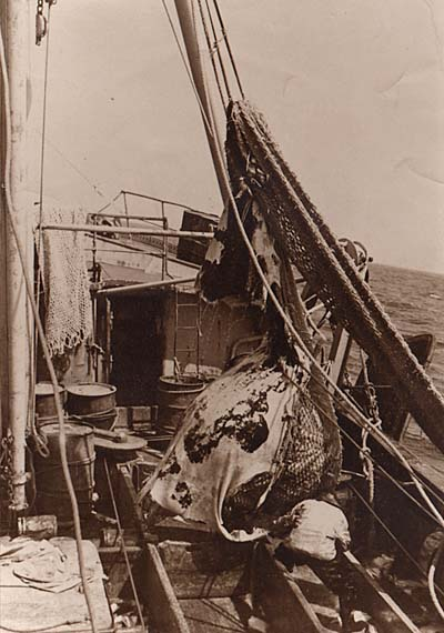 The cod end full of cod is being positioned over the checker boards. Just look at the size of that haul compared to the fisherman below. I'd love to ID this vessel. She was steel, and the photos were taken by James H. Goodwin in the early 1950's.