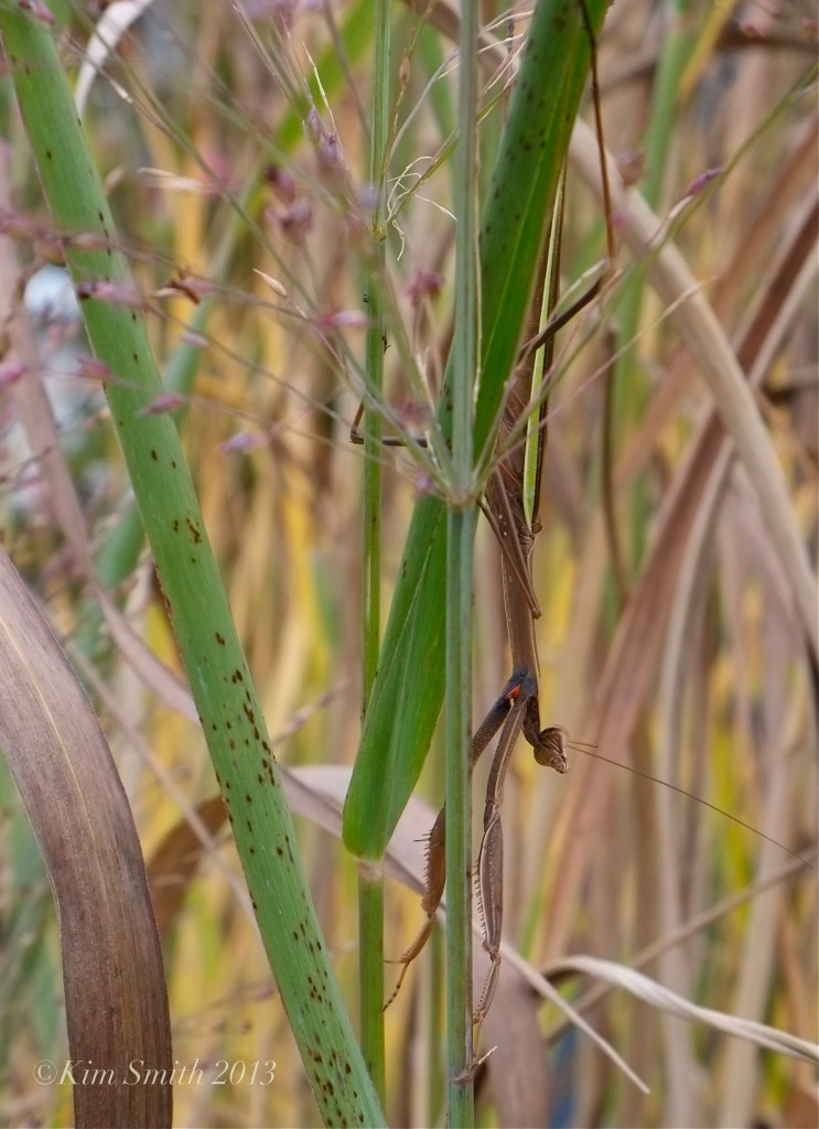 Chinese Mantis Tenodera aridfolia sinensis -2 ©Kim Smith 2013. copy