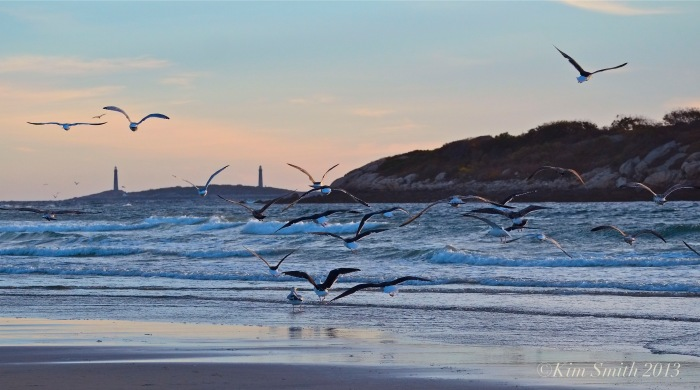 Great Black-back & Herring Gulls Massachusetts in flight ©Kim Smith 2013.