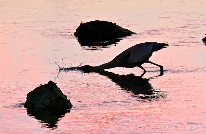 Great Blue Heron catching minnow @Kim Smith 2013