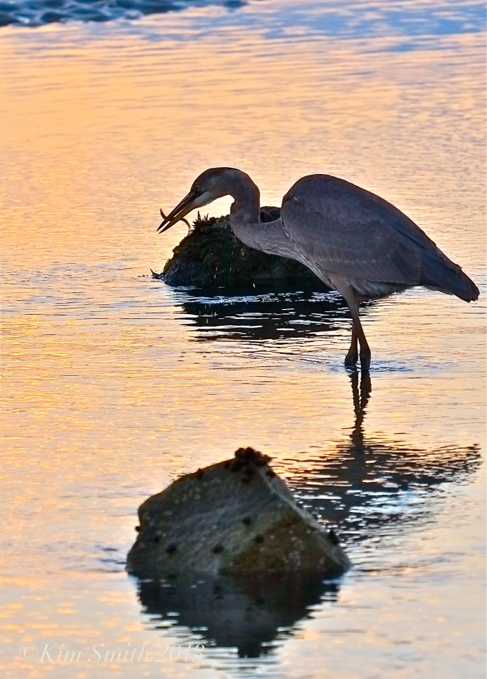 Great Blue Heron Eating Minnow.©Kim Smith 2013