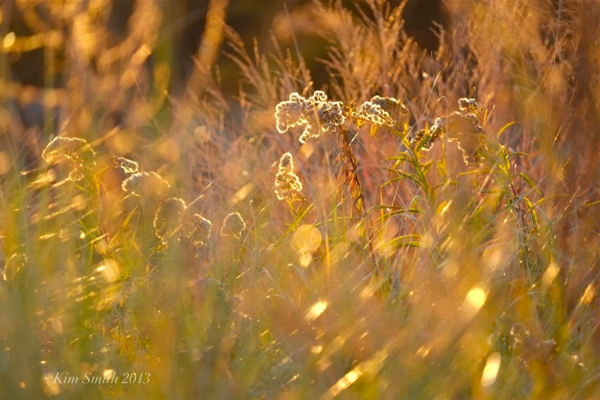 Seaside Goldenrod in the Wind Good Ha ©Kim Smith 2013rbor Beach Gloucester