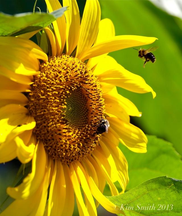 Sunflower and bee ©Kim Smith 2013