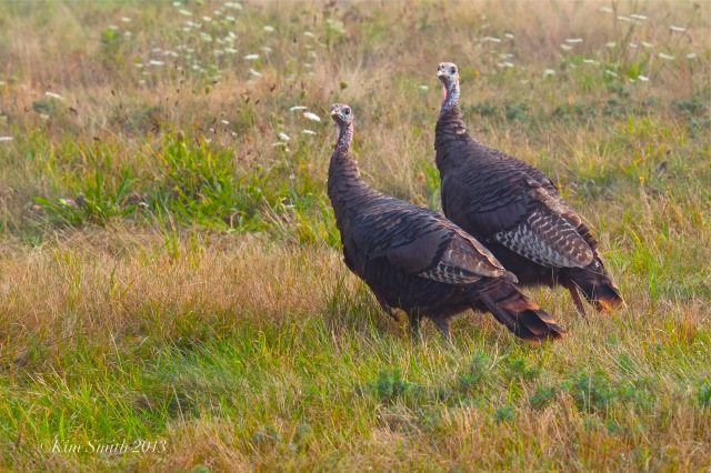 Two turkey hens ©Kim Smith 2013