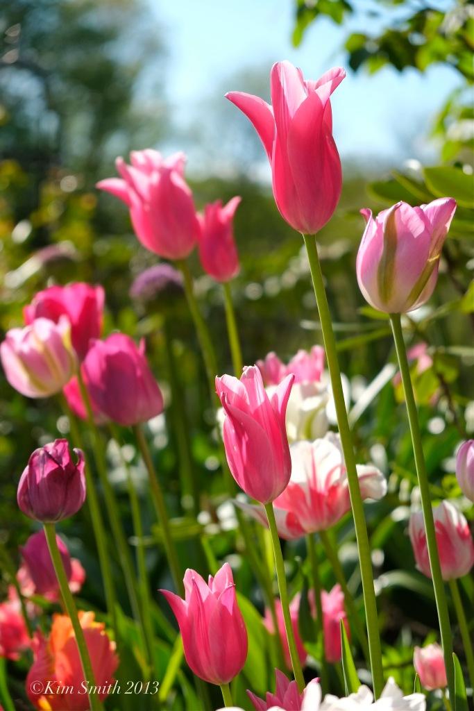 Willowdale estate events venue boston tulips ©Kim Smith 2013 copy