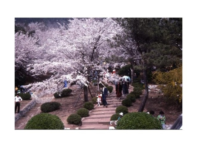 3184061 Chinhae Cherry Blossom time the mountain overlooking the city quite a few steps up