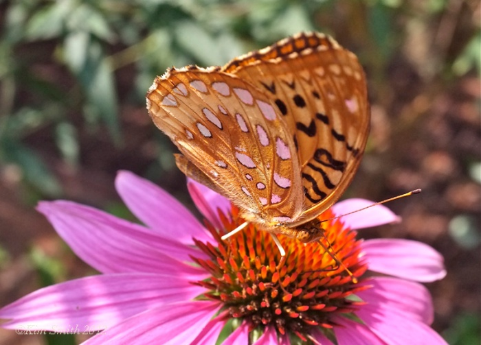 6- HW Great Spangled Fritillary ©Kim Smith 2012 copy