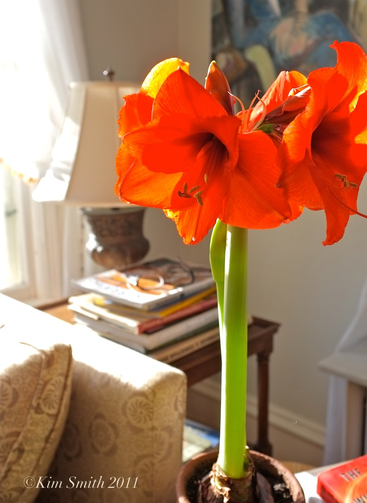 Amaryllis hippeastrum ©Kim Smith 2011 copy