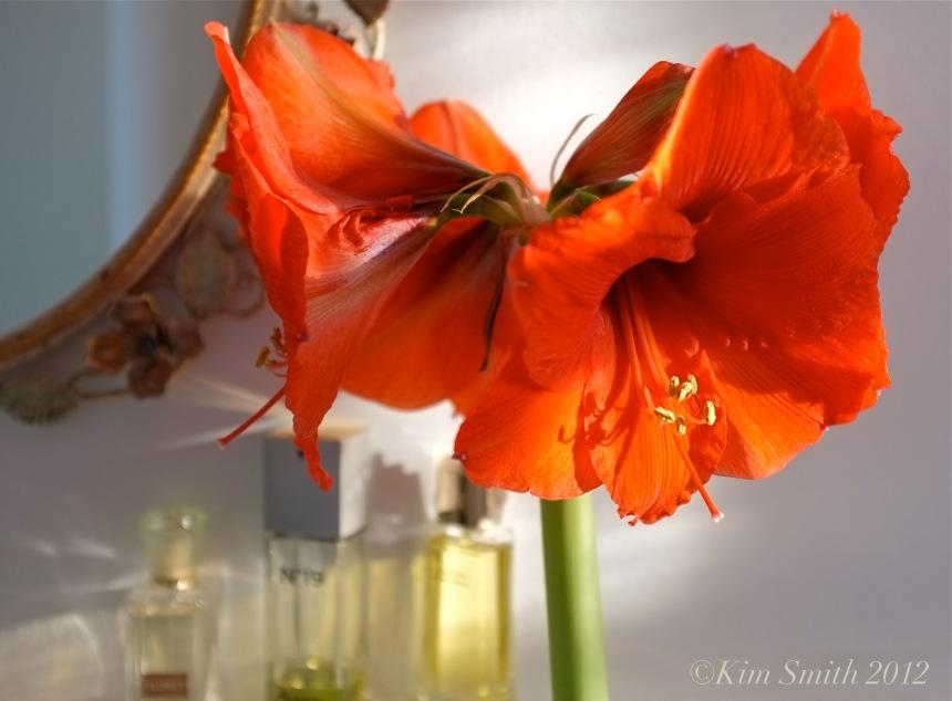 Amaryllis hippeastrum ©Kim Smith 2012