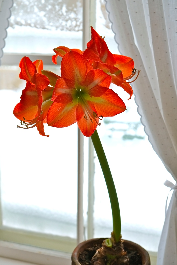 Amaryllis hippeastrum Orange sovereign ©Kim Smith 212