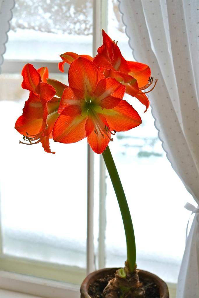 Amaryllis hippeastrum Orange sovereign ©Kim Smith 212