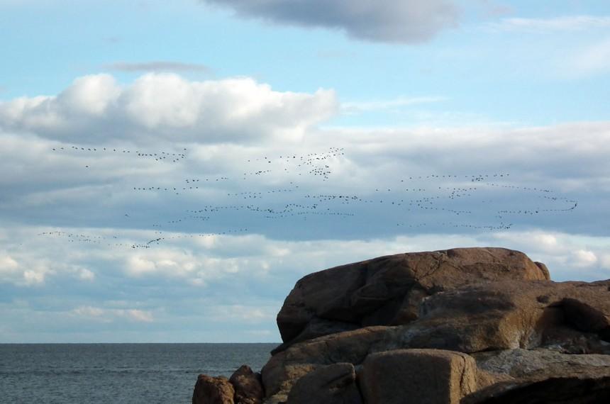 big flock of birds
