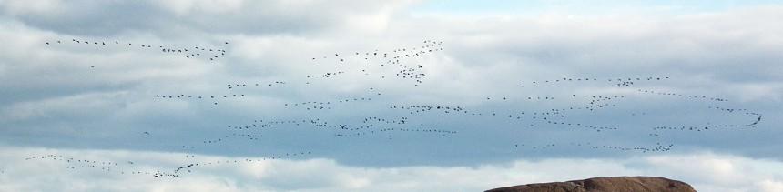 big flock of birds2