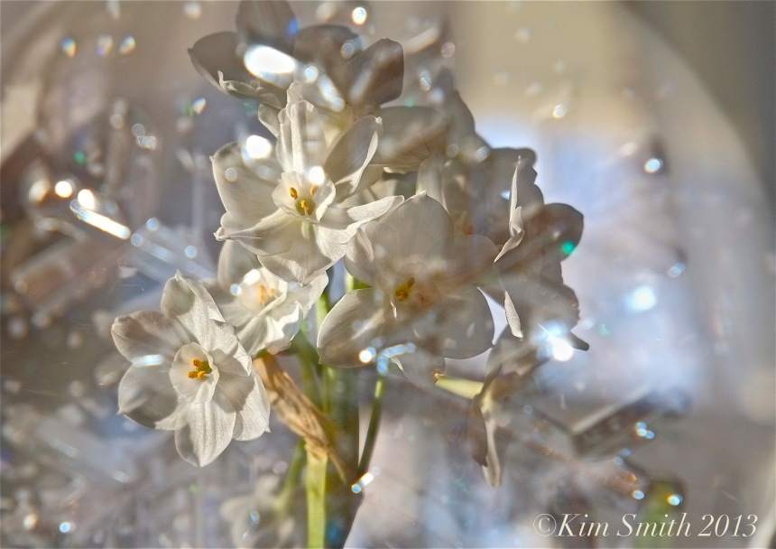Paperwhites ©Kim Smith 2012 copy