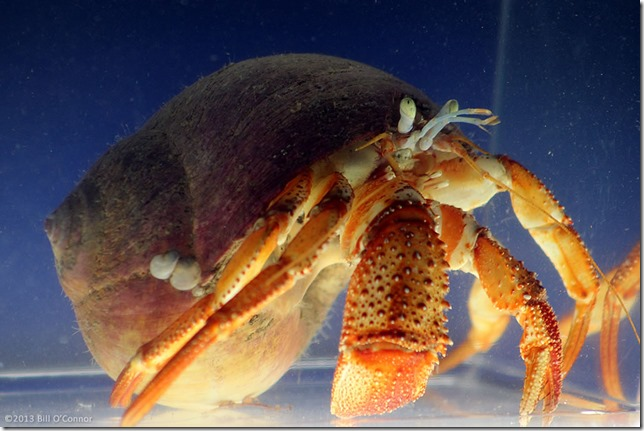Giant_Hermit_Crab_02