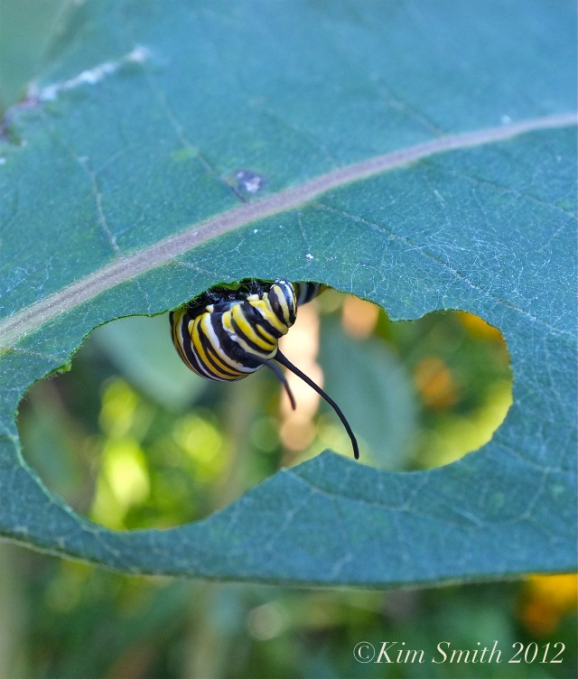 Monarch Caterpillar Milkweed ©Kim Smith 2013
