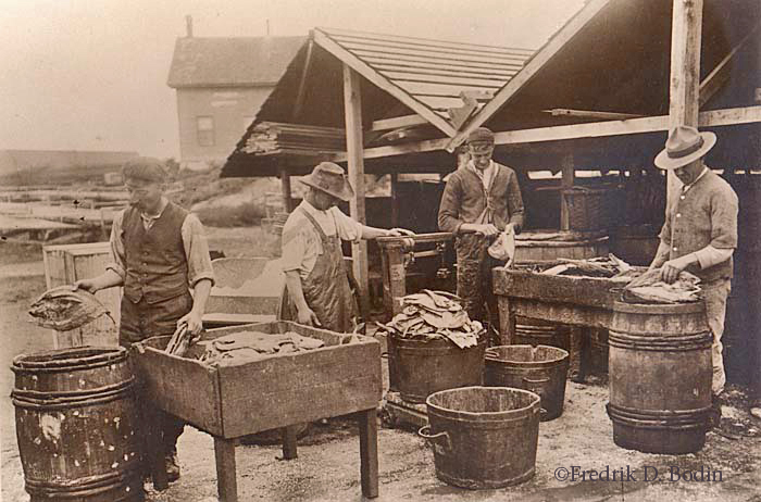 These men on Rocky Neck are cleaning the catch and perhaps salting it. The fish look like sole to me. Notice the guy still wearing part of his WW1 uniform. My grandfather fought in that war, and came back from the trenches of France with a Purple Heart, USMC.
