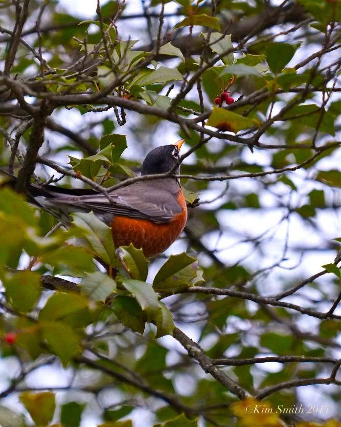 American Robin American Holly Ilex opaca © Kim Smith 2014JPG
