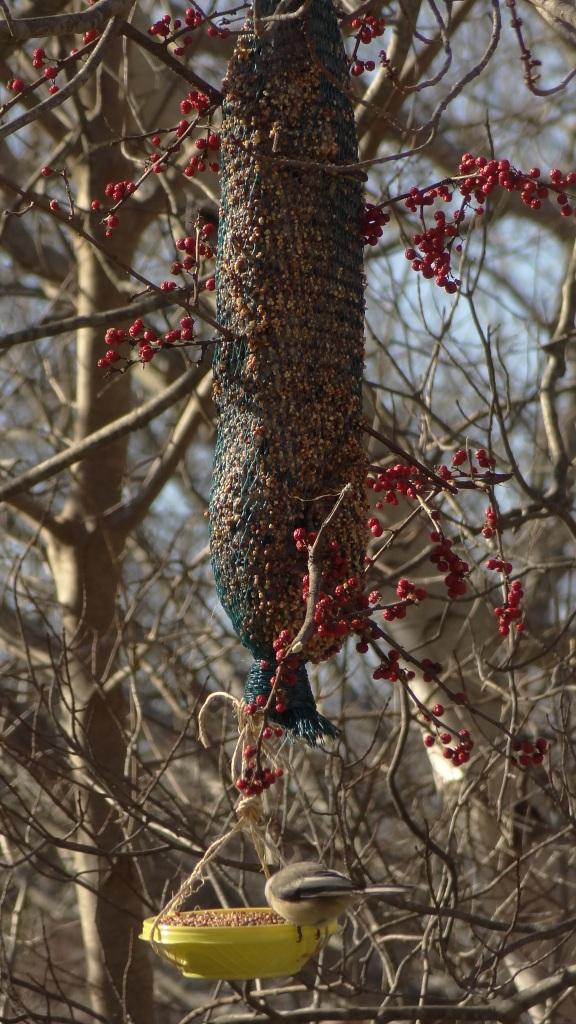 backyard birds 058