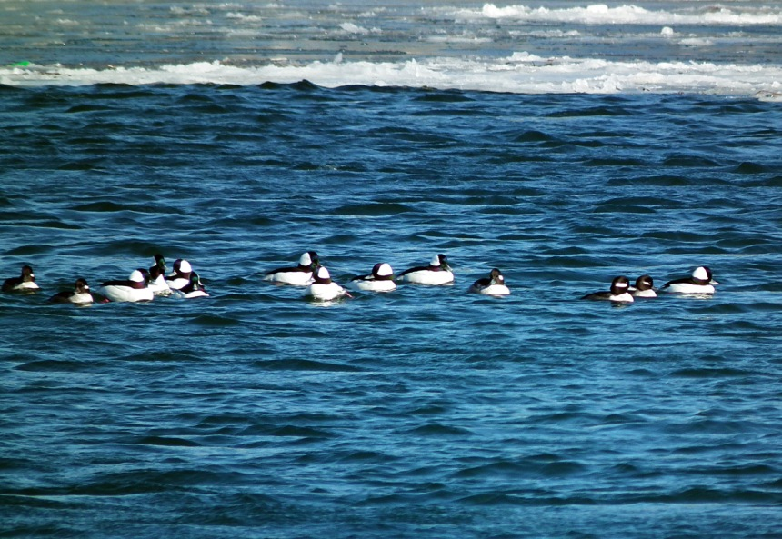 badelynge of buffleheads
