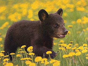 black_cub