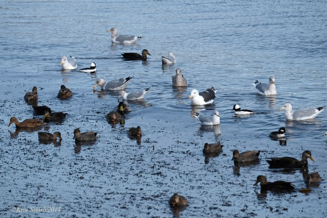 Buffleheads, gulls Brace Cove ©Kim Smith 2014