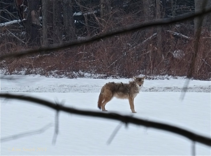 Coyote Massachusetts,canis latrans ©Kim Smith 2014