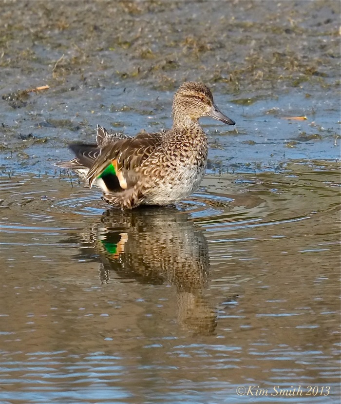 Female Green-winged Teal -- ©Kim Smith 2013.