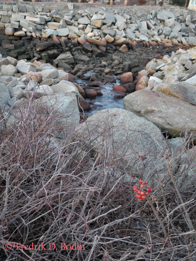 """As I was making a few photographs of the sunset over Folly Cove, I heard a babbling brook. It must have been the snow melt from across the road and the quietness of the season. I saw and photographed another angle of this that included a length of silver ribbon entangled in the bush. It made me think of all the wonderful times I've had there with my late parents, my sister (Painter Barb), and now Janet. I think of all the """"eat in the rough"""" memorable occasions that others have had at the Lobster Pool. It's very special."""