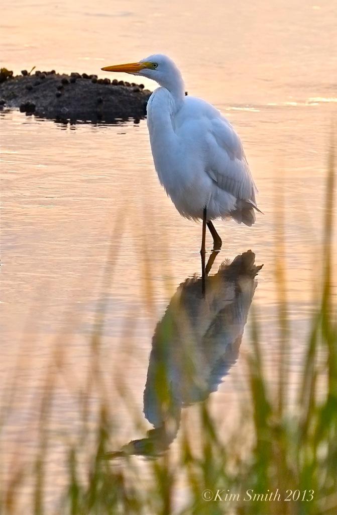 Great Egret Gloucester - ©Kim Smith 2013