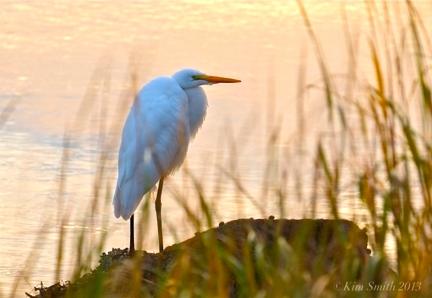 Great Egret Gloucester ©Kim Smith 2013