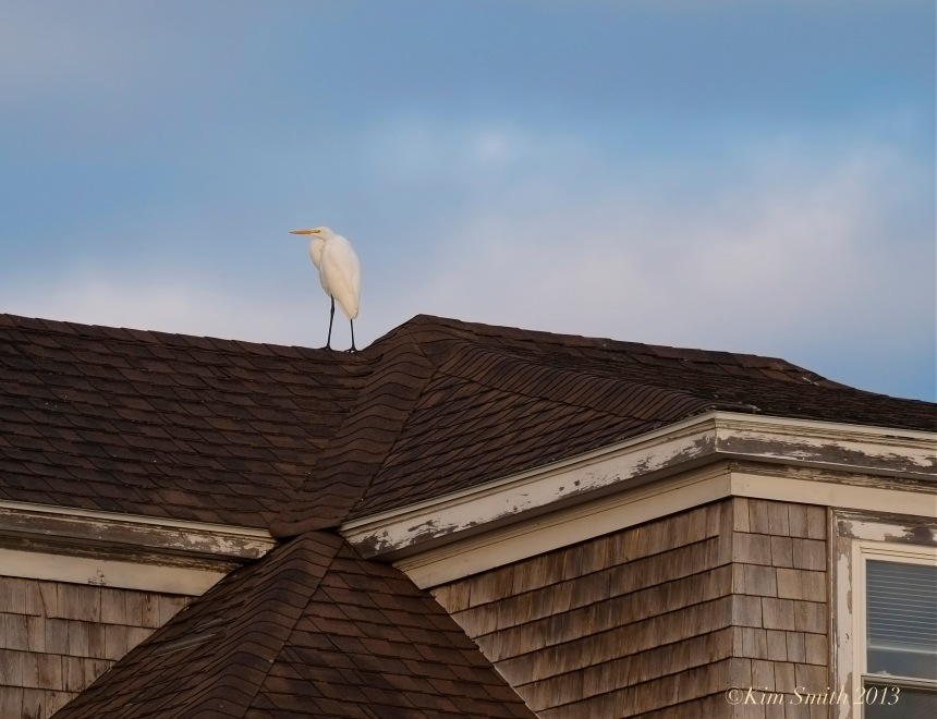 Great Egret Gloucester Massachusetts ©Kim Smith 2013