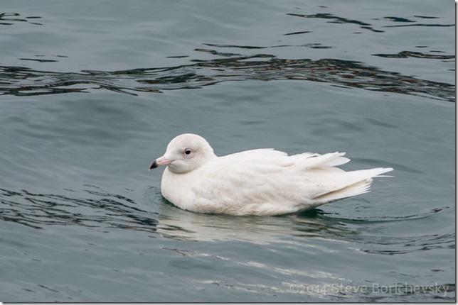 Iceland Gull 11 January 2014 - 003[3][1]