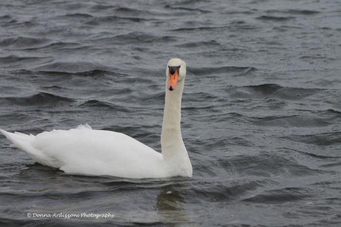 January 19, 2014 Hello Swan at Niles Pond