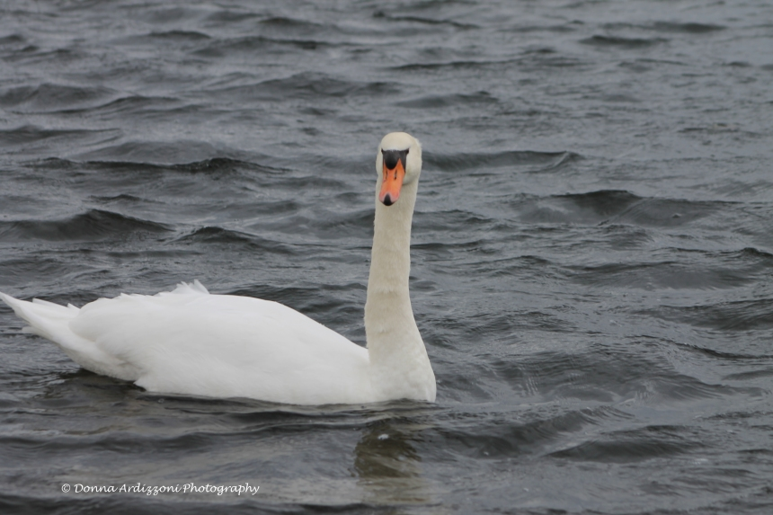 January 19, 2014 Hello Swan at Niles Pond