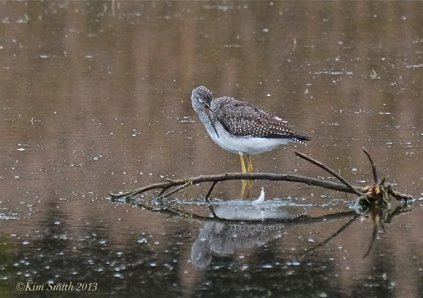 Lesser Yellowlegs Massachusetts  © KIm Smith 2014 -.