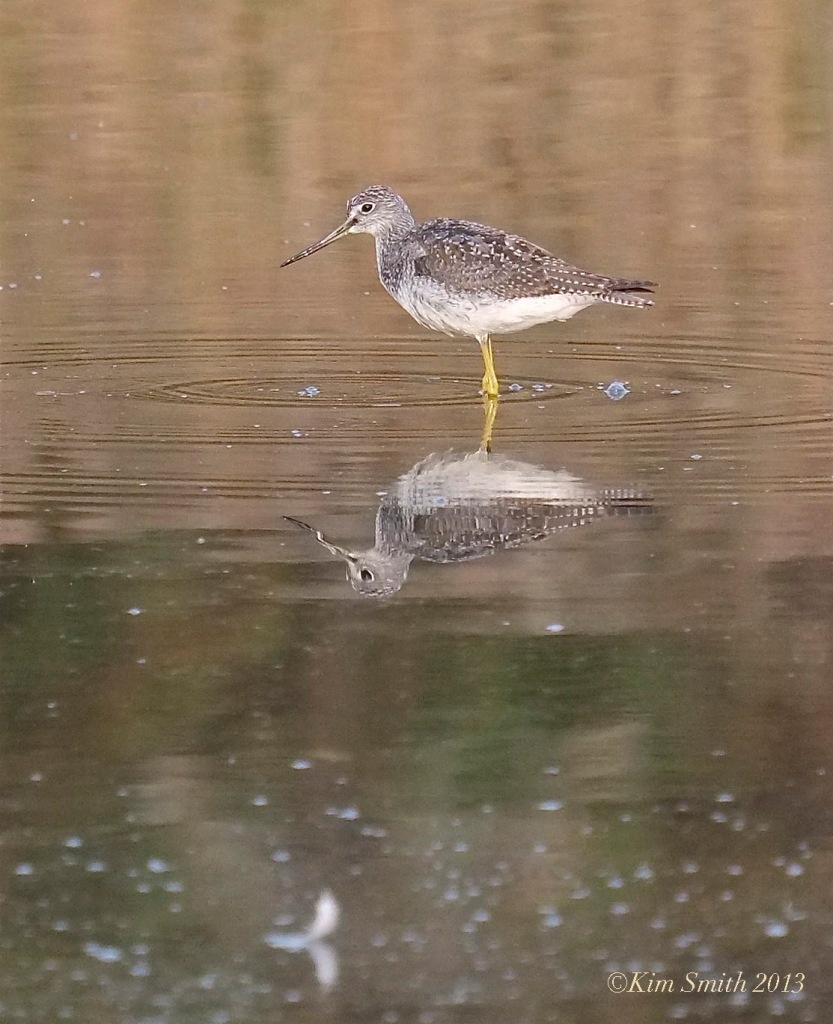 Lesser Yellowlegs Massachusetts © KIm Smith 2014.