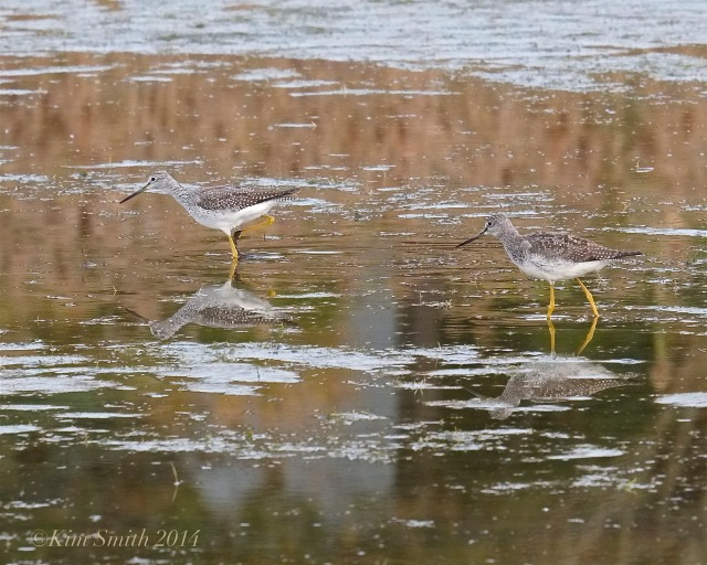 Lesser Yellowlegs Pair Massachusetts © KIm Smith 2014