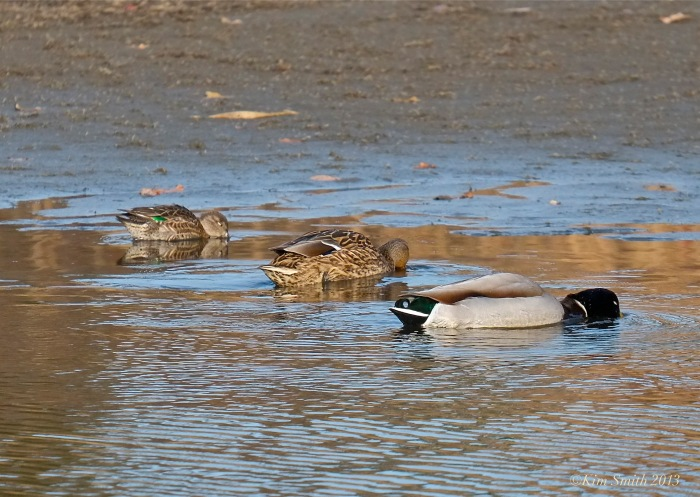 Male Mallard, Female Mallard Green -Green-winged Teal ©Kim Smith 2013.