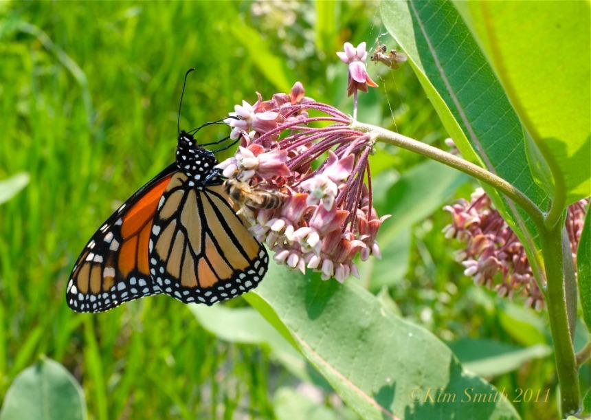 monarch-butterfly-milkweed-good-harbor-beach-c2a9kim-smith-2011