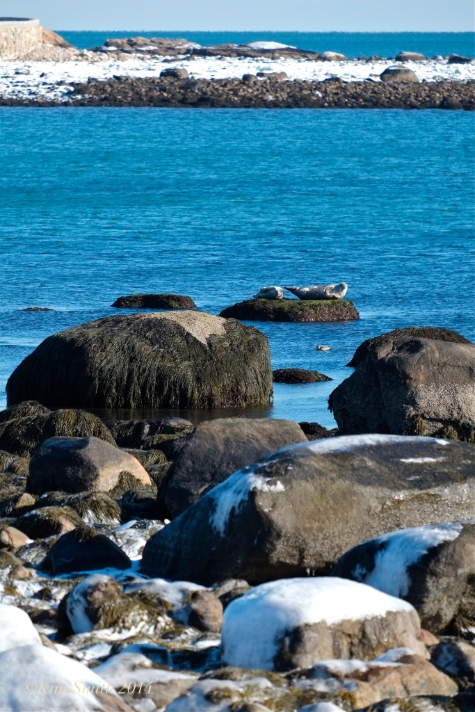Seal Brace Cove Gloucester  -- ©Kim Smith 2014.3