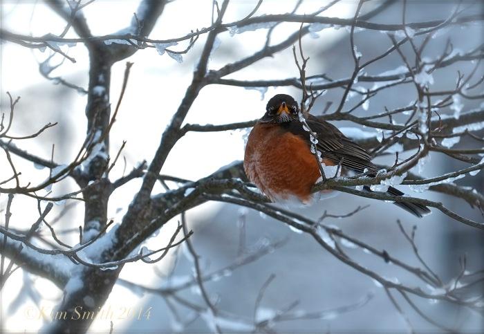 American Robin in Dogwood tree ©Kim Smith 2014