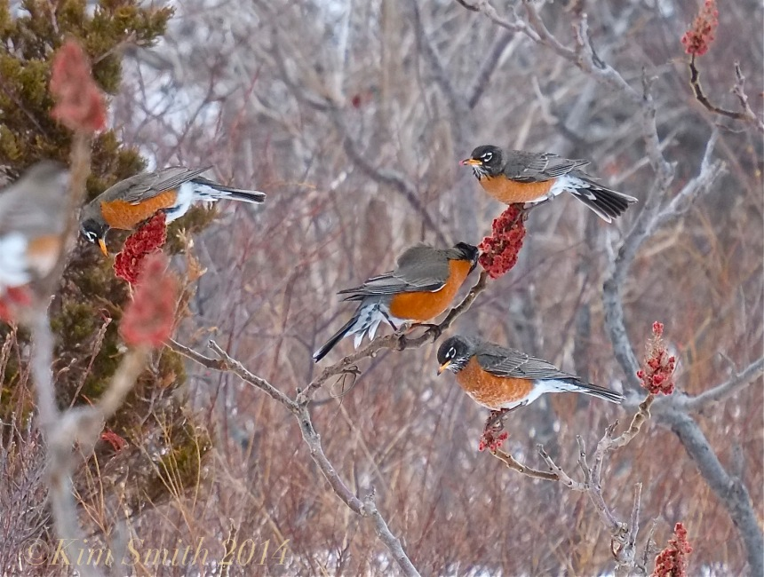 American Robins Eating Sumac ©Kim Smith 2014